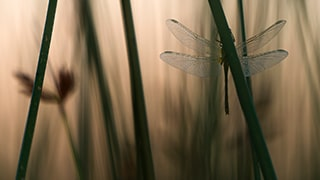 javier-aznar-sony-alpha-7RIII-dragonfly-sitting-on-plant-stem